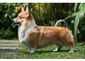 Corgilife Athena (indonesian Champion, Top pemb.bitch 2011) proudly owned by zephyr kennels indonesia